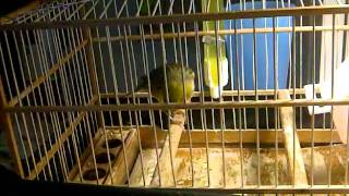 REAL SPANISH TIMBRADO CANARY SONG Note  2011!!!
