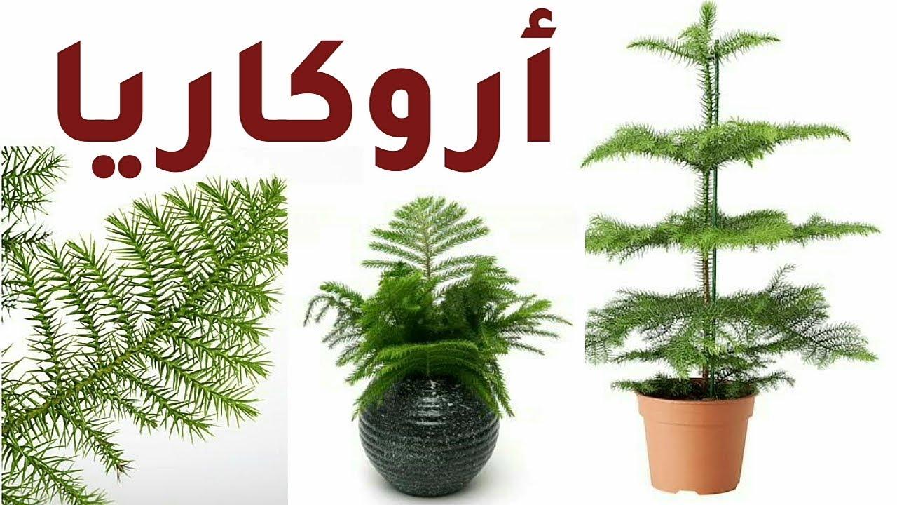شجرة الأروكاريا Araucaria Heterophylla العناية الري و السماد و الإكثار Youtube