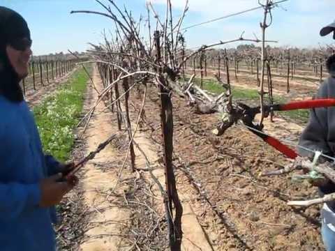Poda de vinas de uva del 2012 youtube - Poda de hortensias en maceta ...