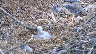 decorah north nest eagles 02 04 2017 16 40 mom hit dnn4 with a stick twice slow motion