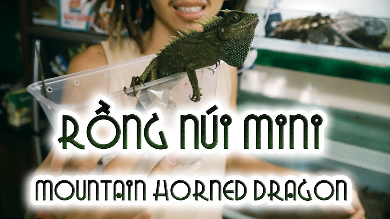 RỒNG NÚI MINI – Mountain horned dragons | WILDVN TV