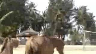 Donkey sexin horse