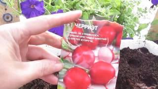 видео Выращивание и продажа редиса