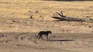 Leopard walks through empty Somalisa Camp