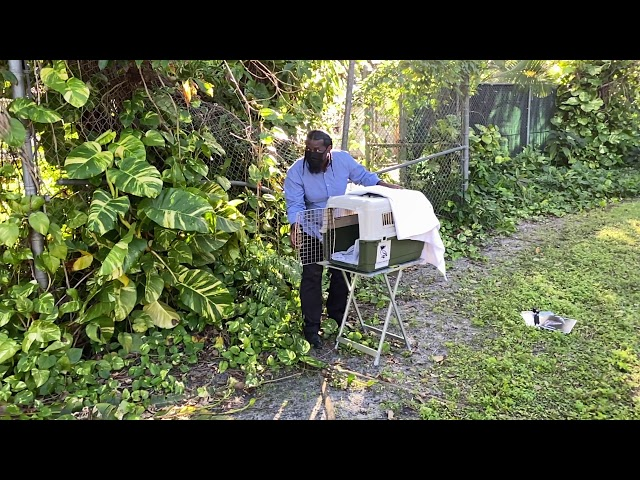El Portal Mayor Omarr C. Nickerson releases a sharp-shinned hawk at the El Portal Nature Trail