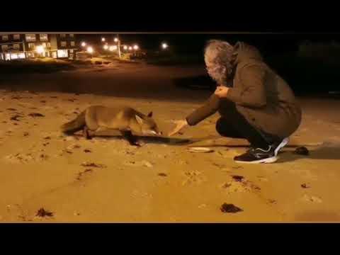 Un zorro come de la mano de una mujer en una playa de San Cibrao