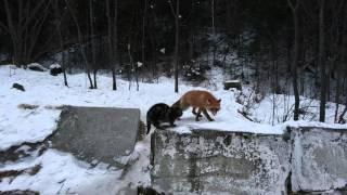 Разборки Алисы с Базилио)))))))))! Зимой колбаска дороже пяти золотых)))!