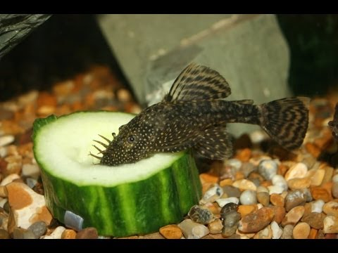 How to feed your fish cucumber youtube for How to feed fish