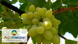 Campo demo, difesa fungicida uva da tavola: le prove