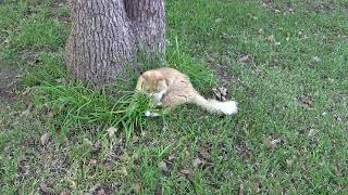 Siberian Cat Hunts Mouse / Cибирский кот ловит мышь