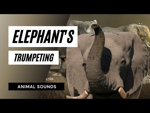 The Animal Sounds:  Elephant Trumpeting - Sound Effect - Animation