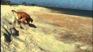 Golden Retriever Bella: Chasing Sand