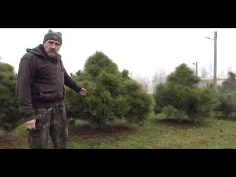 Сосна крымская  большое дерево.  Как остановить рост.