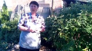 Жимолость - растение с крепкими жилками