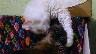 Коты вылизывают друг друга