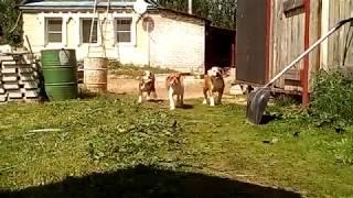 Щенки американского бульдога1