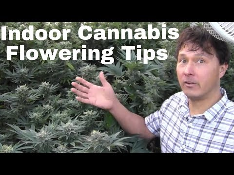 Indoor Cannabis Flowering Tips to Grow Dense Buds & Prevent