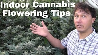 Indoor Cannabis Flowering Tips to Grow Dense Buds & Prevent Mildew thumbnail