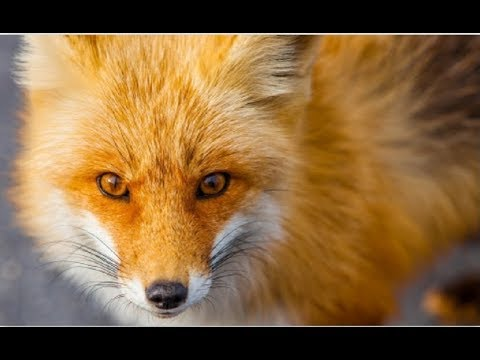 Fox Tales - Secret Life of Red Foxes | Documentary 2017