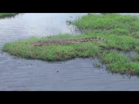 Crocodile in Chobe River. Chobe National Park, Botswana, Africa.