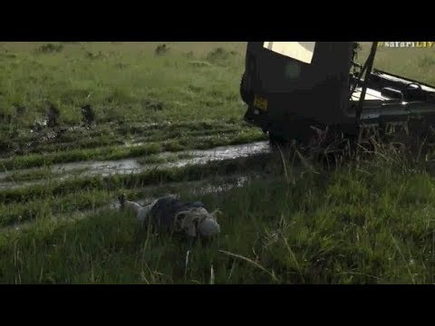 Safari Live : Tayla not having a good morning in the Maasai Mara ( Funny )  Dec 10, 2017