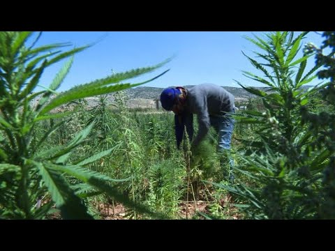 Lebanon's hash farmers fear going legal may hit profits