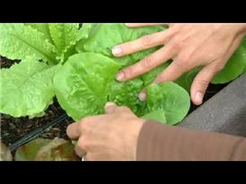 Growing Greens : How to Prune Buttercrunch Lettuce