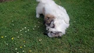Shichon Puppies (bichon Frise X Shih Tzu)