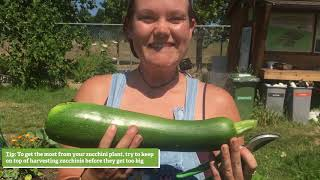 Harvesting: Zucchinis, Cucumbers, Peas, Beans and Root Crops!
