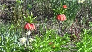 Цветы на даче, весенние цветы нарциссы, рябчик и вишня(Весна идет полным ходом. Отцвели на клумбах крокусы, в саду абрикосы и наступила пора цветения тюльпанов,..., 2016-04-19T18:37:50.000Z)