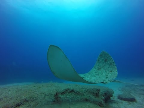 Full Video Shared by Our Divers | Butterfly ray