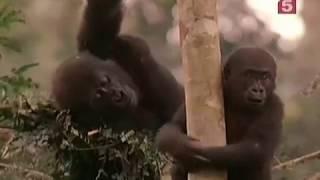 Жизнь с гориллами