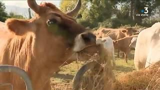 Taravo – les producteurs de bovins défendent leur mode d'élevage