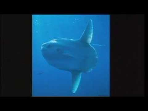 Tierney Thys: Swim with giant sunfish in the open ocean