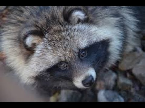 This Is Actually a Dog. It's a Raccoon Dog!