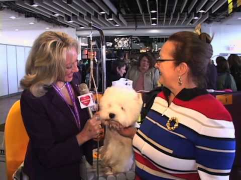 Norwich Terrier & West Highland White Terrier at the 2013 Westminster Dog Show
