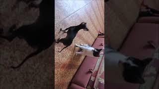 Бой не на жизнь а на смерть кошка и собака