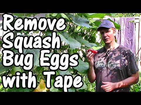 2-min.-tip:-how-to-remove-squash-bug-eggs-with-tape-(squash-bug-control)