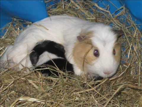 2011-08-24 Breeding Guinea Pigs (14 Litters)