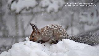 雪の中のエゾリス オホーツク 山間部の風景