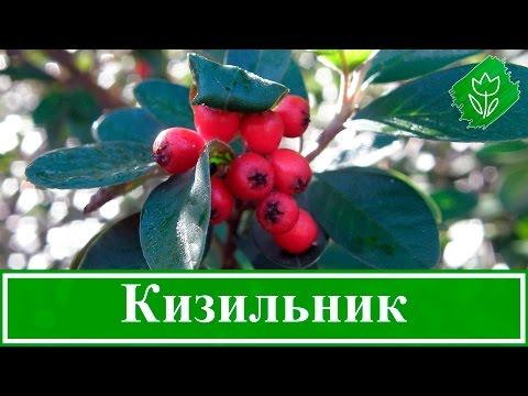 🌳 Кустарник кизильник – посадка и уход: размножение кизильника, виды и сорта кизильника