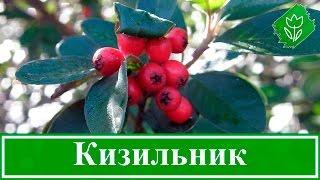 видео Кизильник (Cotoneaster Med.)