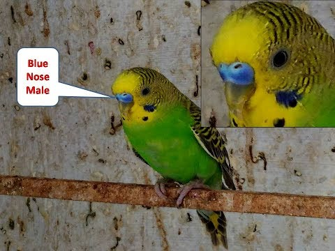 How to Identify Male and Female in Lovebirds