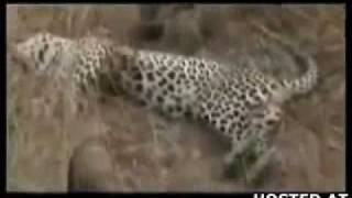 Repeat youtube video Leopard hunt goes wrong