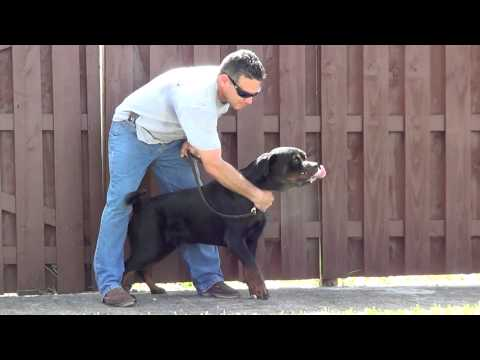 Dual Purpose, Sport, Personal Protection Young Rottweiler (edited version)