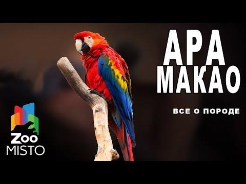 Ара Макао - Все о виде попугаев | Попугай вида - Ара Макао