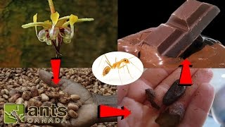 Ants That Make Coffee, Chocolate, & Pineapples