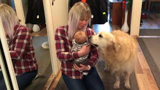 Golden Retriever Netta meets a baby for the first time