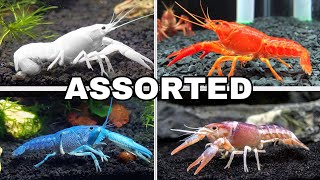 ASSORTED COLORFUL CRAWFISH AQUARIUM!!!