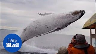 Incredible moment humpback whale launches into the air